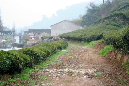 Tea Plantation in Shoaxing