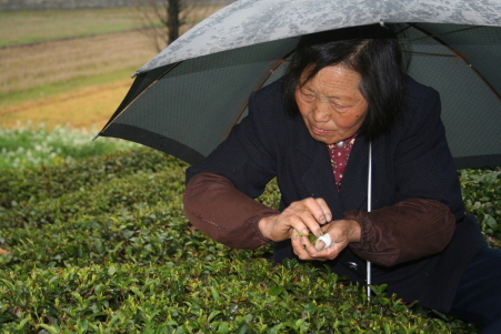 Picking Green Tea